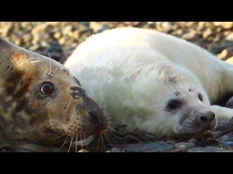 Grey Seals of Bardsey Island