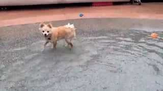 8 month old Pomeranian Puppy is introduced to water in swimming pool for first time 2