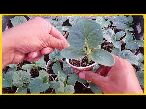 Как вырастить крепкую рассаду огурцов / Хочешь быть с огурцами делай так