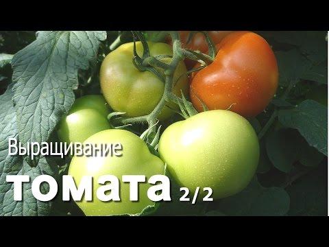 Выращивание томата. 2/2