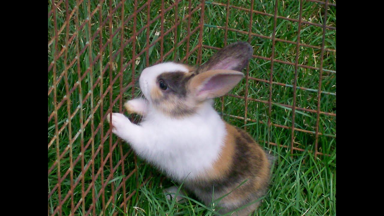 Кролики, порода Бельгийский Бородачь. - YouTube