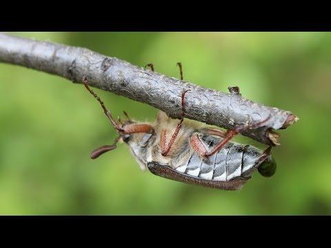 Melolontha hippocastani - Waldmaikäfer, May Bug, Cockchafer