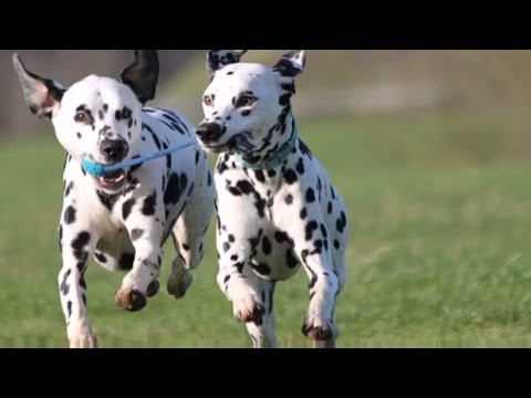 DOG BREEDS RASE LIST #D: DALMATIAN DOG,  DOBERMAN DOG, DOGO ARGENTINO DOG, DUTCH SHEPHERD | DISCOVER
