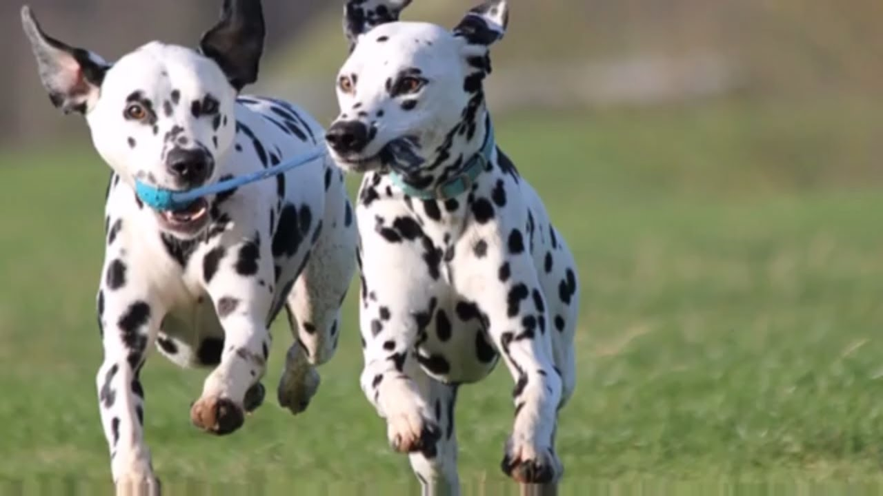 Dog Breeds Rase List D Dalmatian Dog Doberman Dog Dogo Argentino