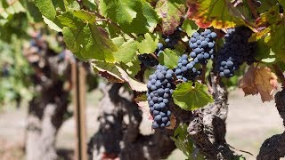 Harvest & Grape Crush Season in Sonoma County
