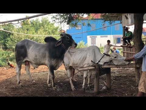 Simple Life Of Cow Breeds In Asia - A Man Training Cow Made Baby