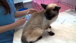 Как сделать кошке укол
