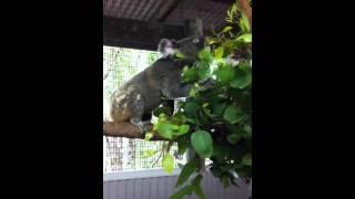 オスのコアラの鳴き声です♪オーストラリアの夏は繁殖期、野太い声で自分...