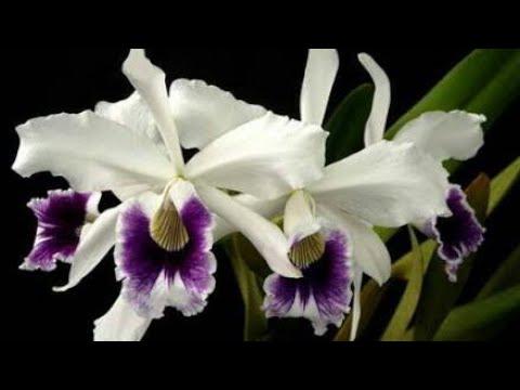 Como Plantar Uma Orquídea Cattleya De Forma Correta