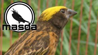 Download Manyar gacor cocok untuk mengatasi burung macet bunyi