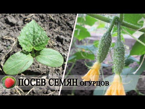 Эффективный способ посева семян огурцов на рассаду Взойдут на 3 день