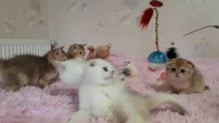Питомник бритаских и шотландских кошек DOLLY STAR