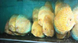 Discus fish in Vietnam