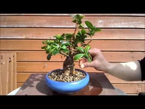 Ficus Ginseng 1