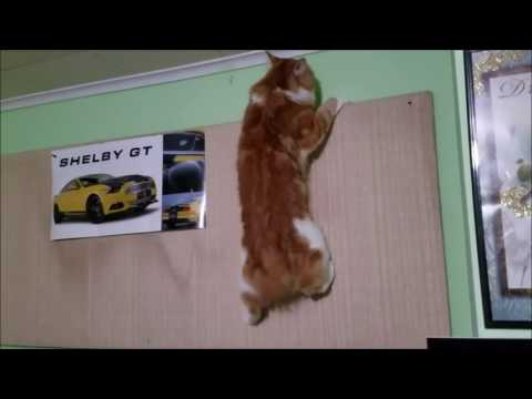 Manx Cat on the wall