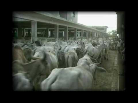 More than 40,000 cows are protected from slaughter; Mata Ji Gaushala