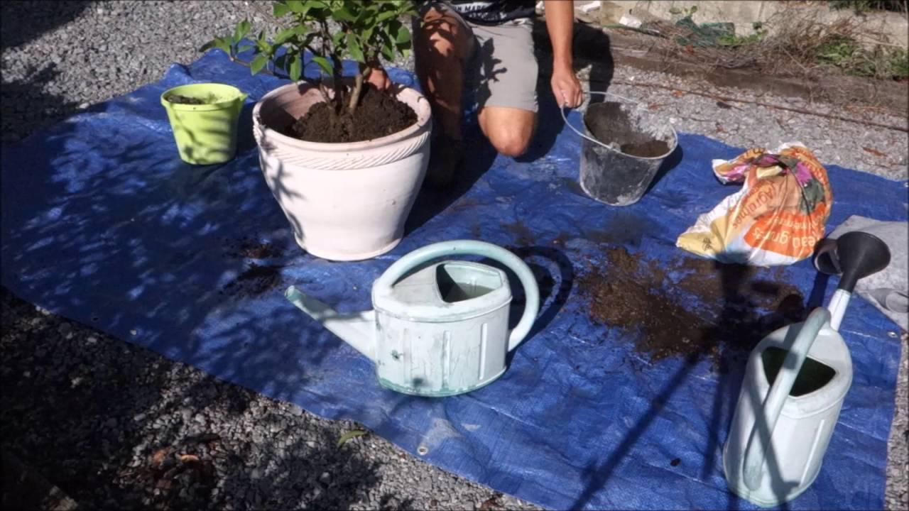 Comment Cultiver Un Citronnier En Pot le rempotage du citronnier: comment faire ?   jardipartage