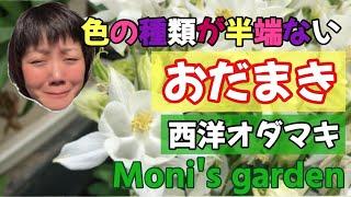 Moniの趣味チャンネル 西洋おだまきってこんな花なんです #西洋おだまき #おだまき #花 #Flower #ガーデニング #庭の花