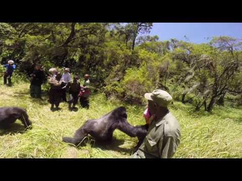 Wife thrown by silver back gorilla on honeymoon