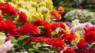 [HD]Rose Garden 千葉・満開の谷津バラ園  花の名所案内