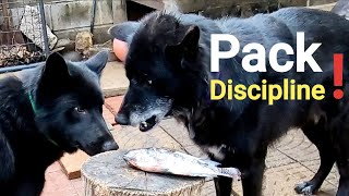Alpha Dog Disciplines Pack Over RAW Food  Pack Feeding