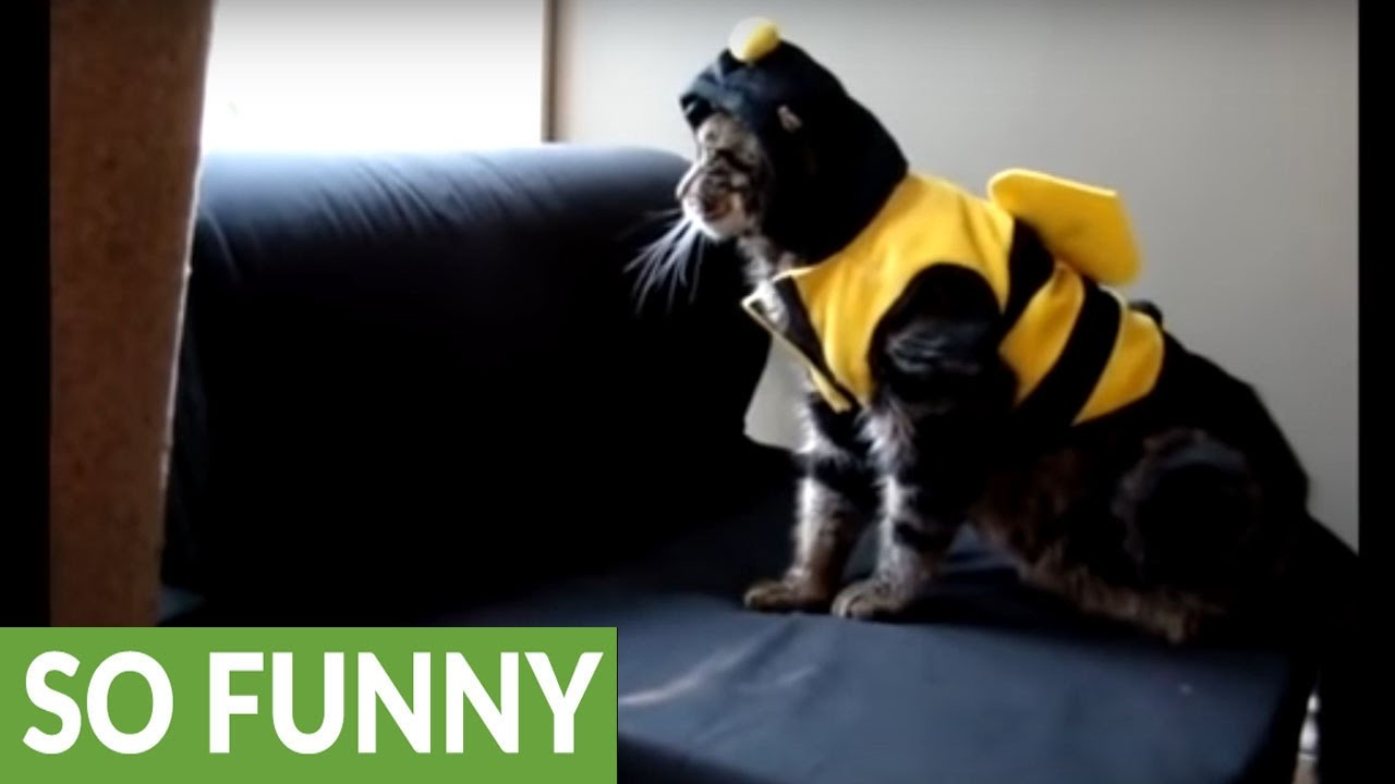 epic fail for cat's bumble bee halloween costume - youtube