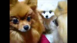 Cute Animals Eating The Pomeranian Which Wants To Eat Bait Funny Animal