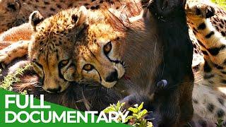 Big Cats  Fastest Hunters of the Serengeti | Free Documentary Nature