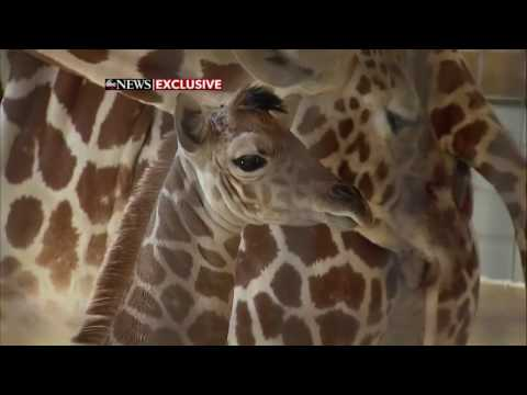 Thumbnail: April the giraffe gives birth