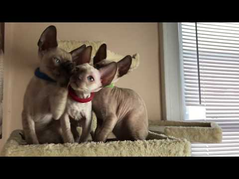 2 month old Cornish Rex kittens