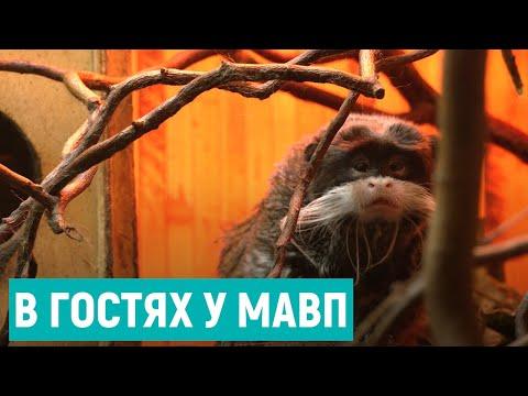 Суспільне Рівне: Всесвітній день мавп: як живуть примати у Рівненському зоопарку