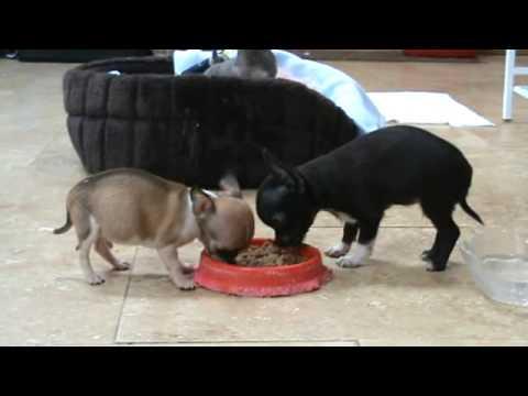 Teacup Chihuahua  Chihuahuas For Sale