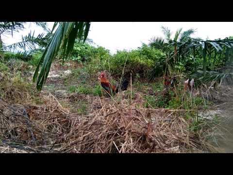 Pikat ayam hutan 2017....si brock lesnar palong timur