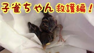 ご視聴、ありがとうございます  ✨ 雀雛の救護の流れです   雛は、巣立ち...