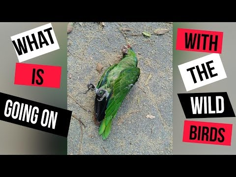 DEAD PARROTS ARE FALLING FROM THE SKY!
