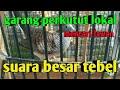 Perkutut Lokal Gacor Mencari Lawan Manggung Yang Seimbang  Mp3 - Mp4 Download
