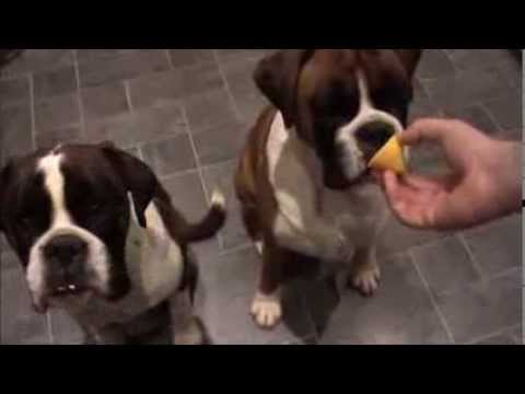 Boxer dogs Archie and Alfie eating lemons !