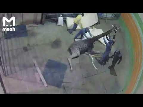 Болевой шок: любимец публики жираф Байтерек умер в зоопарке