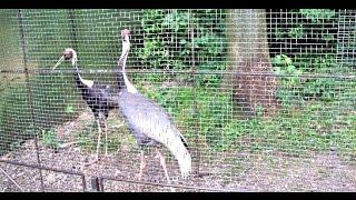 Калининградский зоопарк. ЖУРАВЛИ и ЭМУ