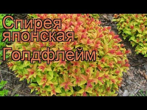 Спирея японская Голдфлейм (spiraea japonica goldflame) 🌿 обзор: как сажать, саженцы спиреи Голдфлейм