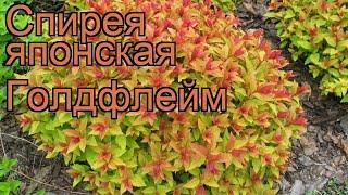 Спирея японская Голдфлейм (spiraea japonica goldflame) ???? обзор: как сажать, саженцы спиреи Голдфлейм
