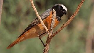 Phoenicurus phoenicurus - Common Redstart