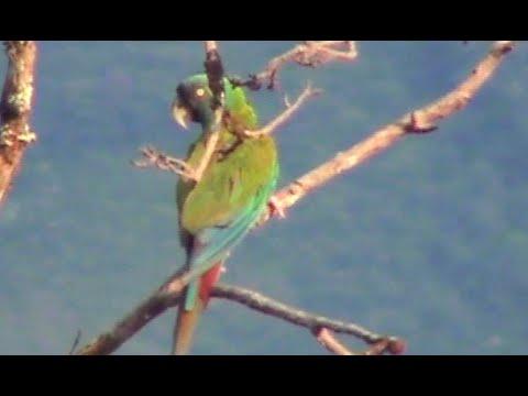 Blaukopf-Ara Primolius couloni Blue-headed Macaw Guacamayo