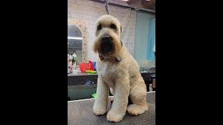 Groomerkt DOG GROOMING: Soft Coated Wheaten Terrier Haircut