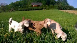 Anglo nubijske koze