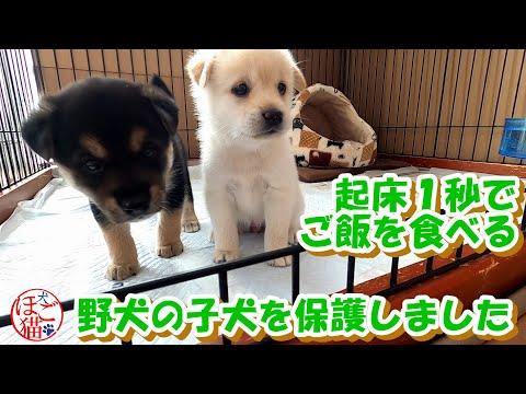 【犬 子犬 保護犬】野犬の子犬2匹を保護 起床1秒でご飯を食べる仔犬たち 3