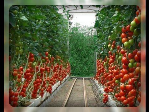 Как ухаживать за помидорами в теплице чтобы был хороший урожай видео
