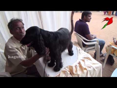 english cocker spaniel is a breed of gun dog puppies