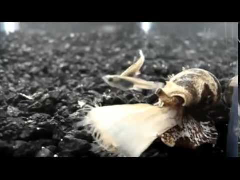 Cone Snail stuns with Insulin