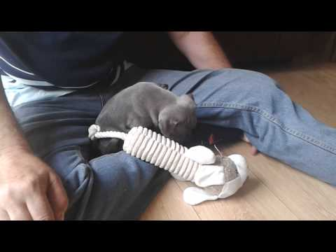 Super Cute Blue Staffordshire Bull Terrier 1st day at home